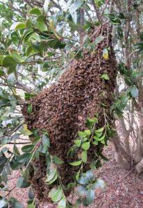 February 24 honeybee swarm